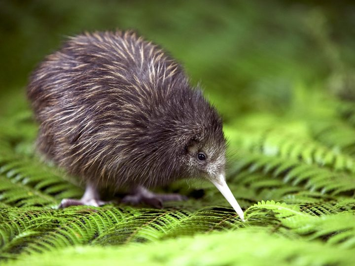 Kiwi: il simbolo nazionale.